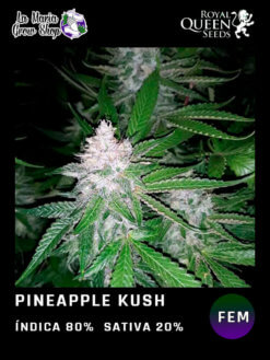 pineapple kush floreciendo