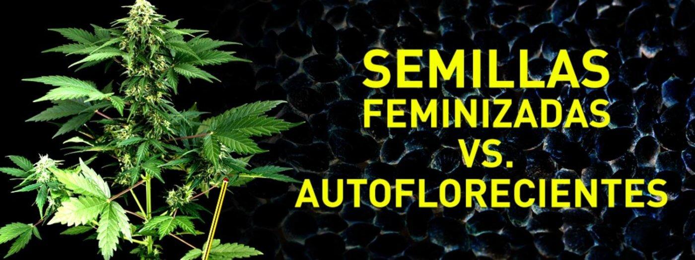 diferencias entre semillas autoflorecientes y feminizadas