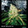 blue gelato 41 floracion