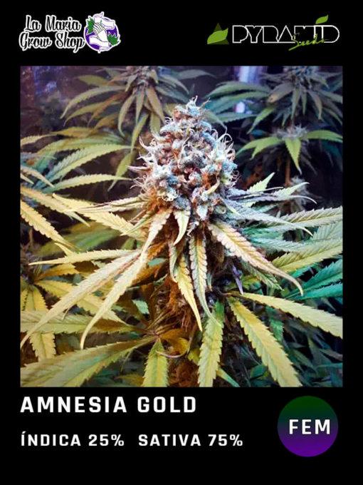 amnesia gold en floracion