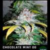 chocolate mint og en floracion