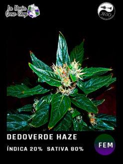 dedo verde haze fem en floracion