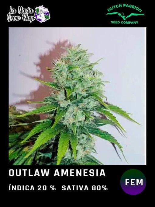 outlaw amnesia en floracion