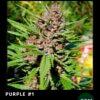 Purple #1 de Dutch Passion