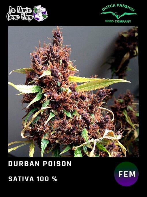 Durban Poison de Dutch Passion