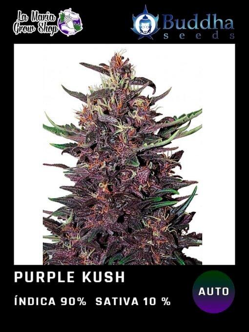 Purple Kush de Buddha Seeds