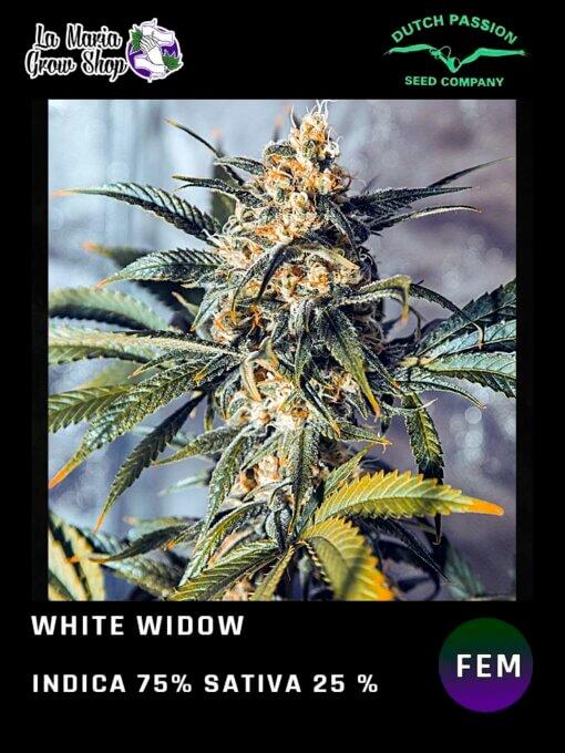 White Widow de Dutch Passion